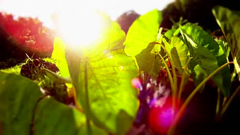 Beautiful-POV-shot-moving-back-from-green-leaves-and-plants-to-reveal-the-sun