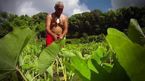 A-Hawaiian-native-prepares-tarot-root-with-his-hands-5