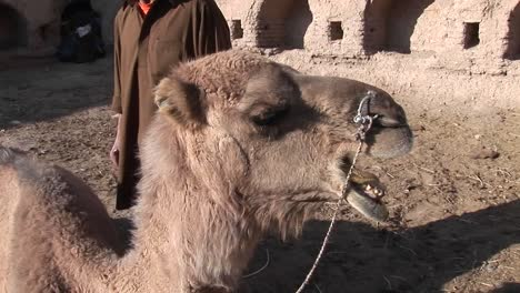 A-man-and-a-camel-in-Iran-1