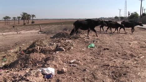 Ochsen-Passieren-Einen-Feldweg-Im-Iran