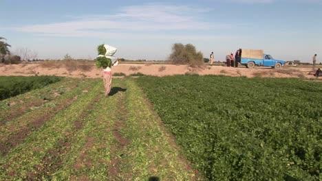 A-field-of-crops-in-Iran