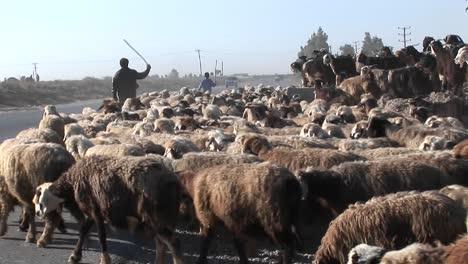 A-man-herds-sheep-near-a-road-in-Iran-