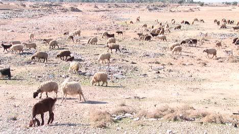 Goats-and-sheep-cross-a-barren-plain-in-Iran