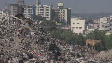 Dogs-walk-through-a-pile-of-garbage-outside-a-city