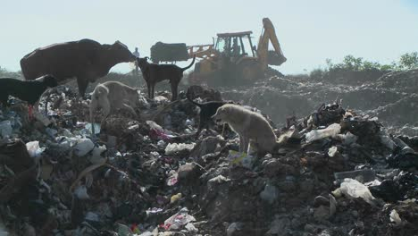 Dogs-and-a-cow-walk-through-a-garbage-dump-as-a-crane-works