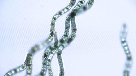 Vista-Microscópica-De-Cintas-De-Algas-1