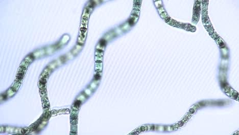 Microscopic-view-of-algae-ribbons-2