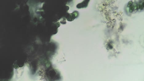 Microscopic-view-of-a-dark-clump-of-algae-changing-locations-in-the-culture-moving-around-it-into-and-out-of-focus