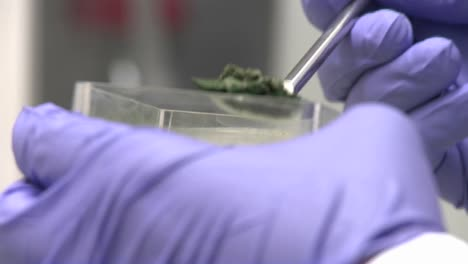Hand-with-purple-glove-pours-frozen-cyanobacteria-algae-into-a-measuring-plate-Cyanobacteria-cultures-are-kept-in-storage-frozen