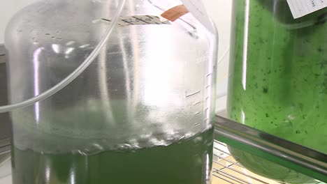 Algae-flask-in-a-shaker-Flasks-with-algae-are-shaken-in-order-to-allow-the-algae-to-grow-faster-than-without-movement