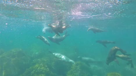 Baja-California-sea-lions-underwater-San-Pedro-Martir-playing-and-swimming
