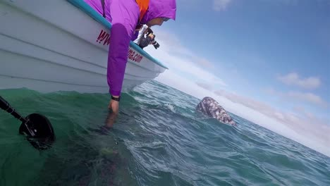 Tourists-lean-out-and-touch-Baja-Gray-Whales-underwater-from-panga-boat