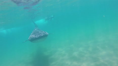 A-huge-Baja-Whale-Tiburón-underwater-swim-with-divers-in-La-Paz