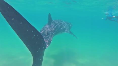 A-huge-Baja-Whale-Shark-underwater-swim-with-divers-in-La-Paz-1