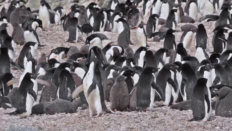 Antarctica-Adelie-large-penguin-colony-standing-on-rocks