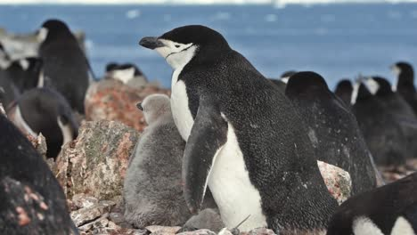 Antarctica-Chinstrap-Penguin-chick-and-adult-standing-on-rocks