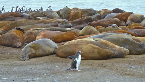 Antarctica-Gentoo-penguins-cross-in-front-of-Elephant-Seals-on-Livingstone-Island-1