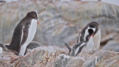 Antarctica-Gentoo-Penguin-chicks-feeding-on-Livingstone-Island