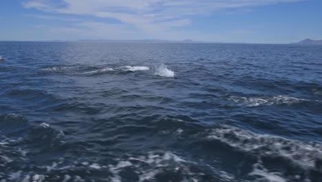 Delfines-De-Baja-Montando-Una-Estela-Y-Saltando-Cerca-Del-Bote