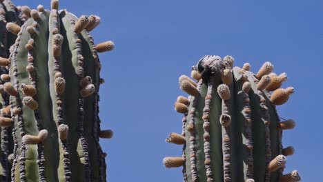 Baja-Isla-Esteban-Mexico-desert-cardon-cactus-and-iguana-eating-flower