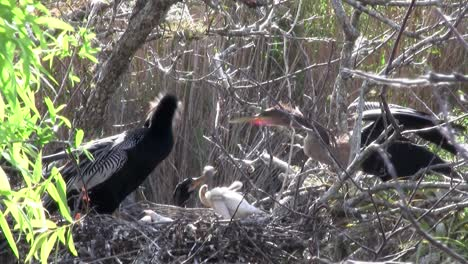Birds-of-the-mangrove-forest-pin-the-Everglades-12