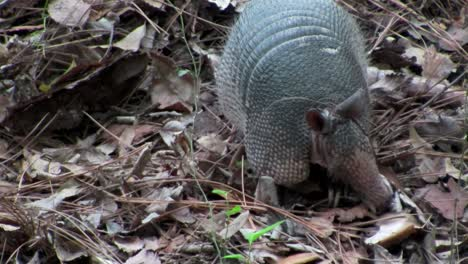 An-armadillo-scurries-across-the-forest-floor
