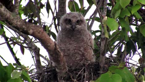A-great-horned-owl-peers-from-the-branches-of-a-tree-1
