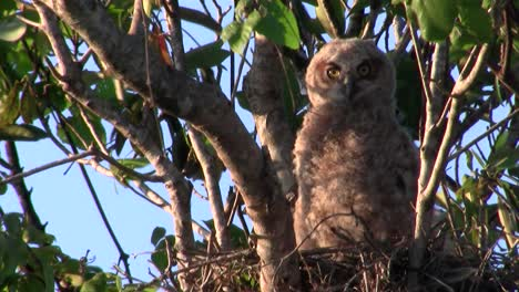 A-great-horned-owl-peers-from-the-branches-of-a-tree-at-night-1