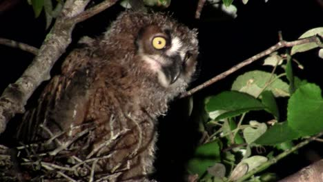 A-great-horned-owl-peers-from-the-branches-of-a-tree-at-night-2