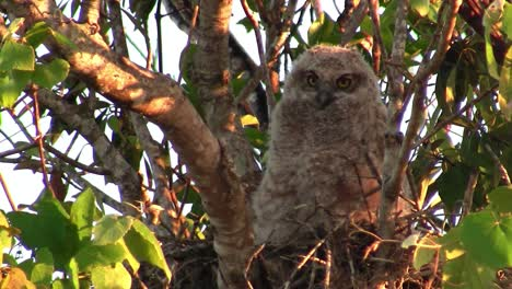 A-great-horned-owl-peers-from-the-branches-of-a-tree-by-day