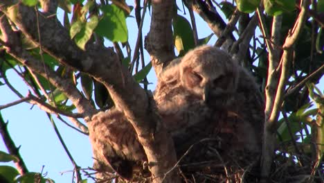 A-great-horned-owl-grooms-itself-in-a-tree