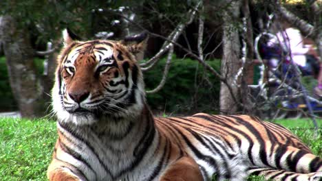 Ein-Großer-Tiger-Sitzt-Auf-Dem-Gras-In-Einem-Zoo