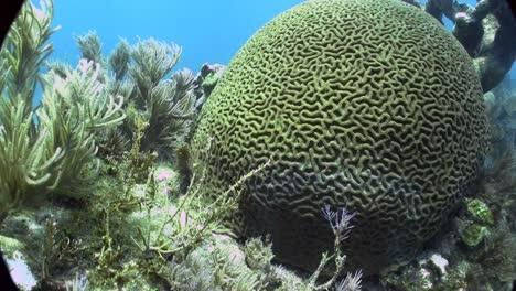 Underwater-shot-of-beautiful-green-brain-coral-1