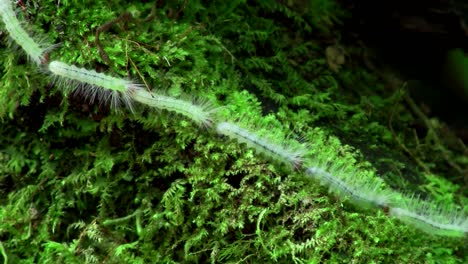 A-long-line-of-caterpillars-make-their-way-across-foliage-linked-head-to-tail