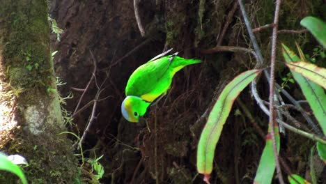A-vivid-green-bird-sits-on-a-branch-plucking-twigs