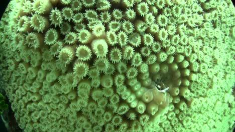 Underwater-shot-of-beautiful-green-brain-coral-2