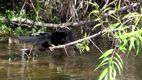 A-heron-type-bird-spreads-its-wings-in-Everglades