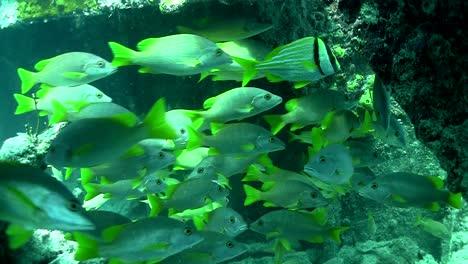 Zahlreiche-Tropische-Silberfische-Schwimmen-Um-Ein-Korallenriff