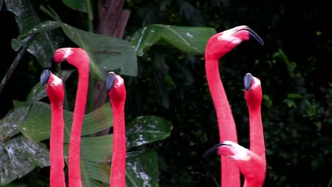 Flamingos-flock-together-in-the-Everglades