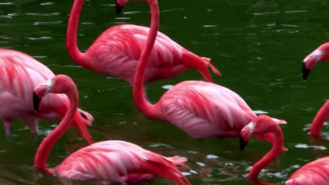 Flamingos-flock-together-in-the-Everglades-2