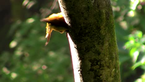 A-beautiful-woodpecker-in-the-forest