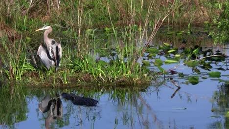 An-alligator-prowls-near-a-bird-in-an-Everglades-swamp