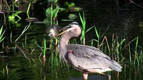 Un-Pájaro-En-Un-Pantano-De-Los-Everglades-Atrapa-Un-Pez