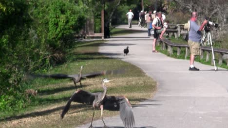 Two-birds-engage-in-a-mating-ritual-along-an-Everglades-pathway