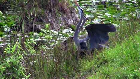 Two-birds-engage-in-a-mating-ritual-in-an-Everglades-swamp
