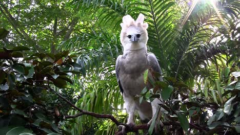 A-harpy-eagle-largest-of-world-s-eagles-peers-out-from-the-jungle-1