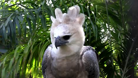 A-harpy-eagle-largest-of-world-s-eagles-peers-out-from-the-jungle-2