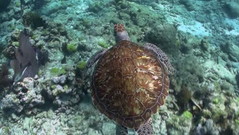 A-turtle-swims-underwater