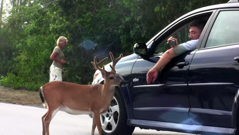 People-feed-deer-along-a-road-in-Florida-7