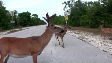 Deer-cross-an-empty-road